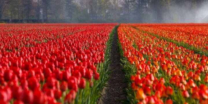Russland schränkt Einfuhr von Blumen aus den Niederlanden ein